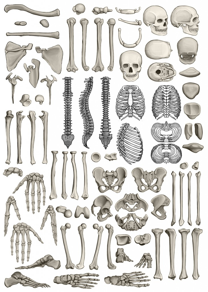 Studies of Bones from Eliot Goldfinger's Human Anatomy for Artists